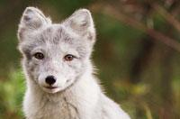 Aïlo : une odyssée en Laponie